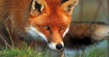 Εμβολιασμός κόκκινων αλεπούδων με εναέρια διανομή εμβολίων – δολωμάτων