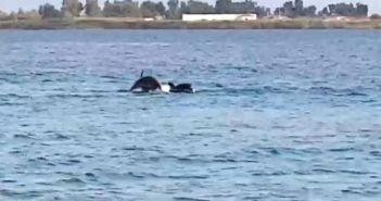 Τα δελφίνια σκόρπισαν τον ενθουσιασμό στον Μύτικα (VIDEO)