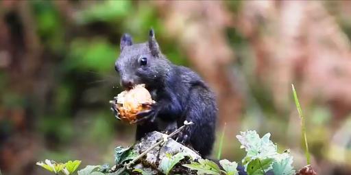 Ευρυτανία: Σκιουράκι τρώει ανενόχλητο… σε δάσος μπροστά στην κάμερα (VIDEO)