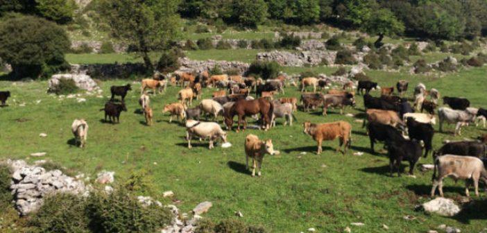 Αμφιλοχία: Εκδήλωση – ενημέρωσης εργασίας για την εκτροφή της Βραχυκερατικής φυλής