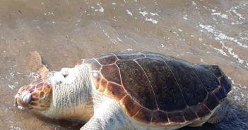 Μεσολόγγι – Θαλάσσιες Χελώνες Caretta – Caretta: Οι δύο όψεις του ίδιου νομίσματος