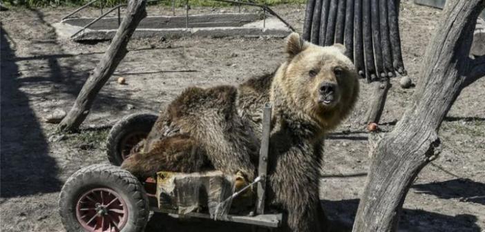 Θλίψη! Πέθανε ο Ούσκο, η πρώτη αρκούδα σε αναπηρικό αμαξίδιο (VIDEO)
