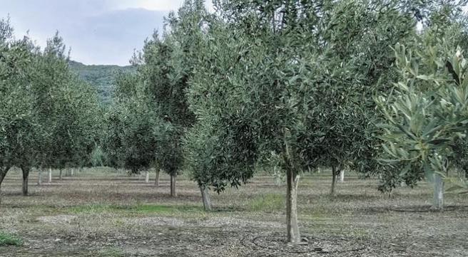"""Οι """"Καλαμών"""" Αιγύπτου, Μαρόκου και Τουρκίας πιέζουν τους Έλληνες παραγωγούς"""