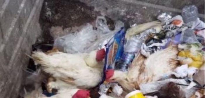 Κτηνωδία στους Αγίους Θεοδώρους: Έδεσε και πέταξε στα σκουπίδια ζωντανές κότες (VIDEO)