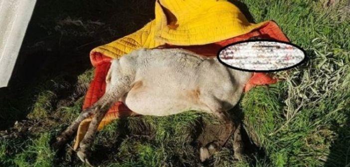 Φρίκη στη Δυτική Αχαΐα – Είχαν δέσει σε φράχτη άρρωστο ζώο