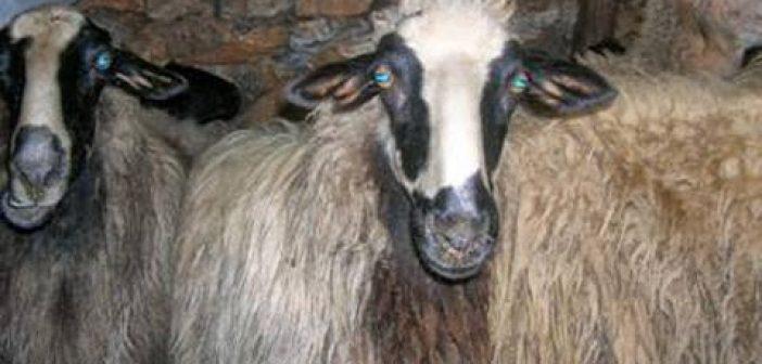 """Κτηνοτροφικές μνήμες – διατροφή: Η ποικιλία """"πρόβατο Αγρινίου"""" που τείνει να εξαφανιστεί"""