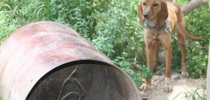 Ναύπακτος: 57χρονος είχε αλυσοδεμένα για μήνες δύο σκυλιά! Συνελήφθη από την ΕΛ.ΑΣ.
