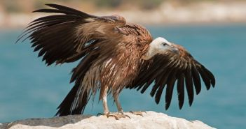 Ημερίδα – Διαβούλευση για το Εθνικό Σχέδιο Δράσης για τους γύπες στο Μεσολόγγι