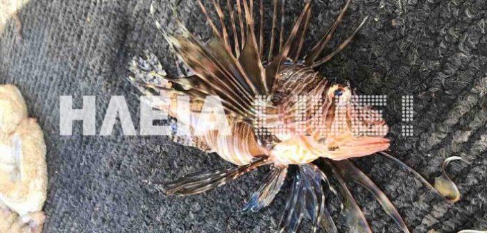 Δυτική Ελλάδα: Και άλλο λεοντόψαρο, ψάρεψε αλιέας στο Ιόνιο