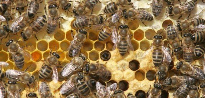 Δυτική Ελλάδα: Μελισσοκόμος παίζει με χιλιάδες μέλισσες και γίνεται viral (VIDEO)