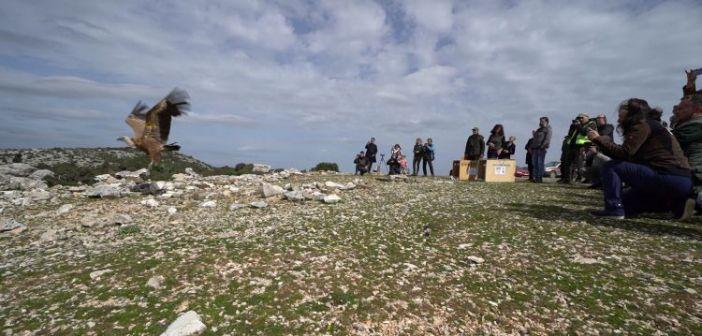 Επανένταξη των δηλητηριασμένων γυπών στον Αράκυνθο