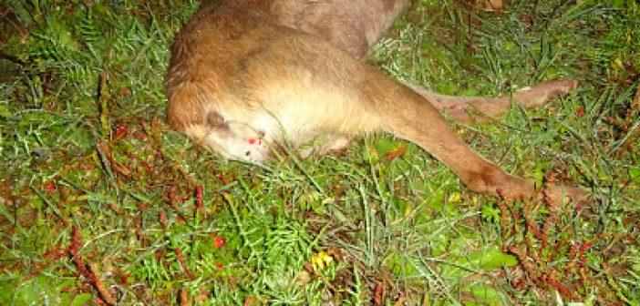 Παναιτώλιο: Σκύλος νεκρός από σκάγια κυνηγητικού όπλου (ΔΕΙΤΕ ΦΩΤΟ)