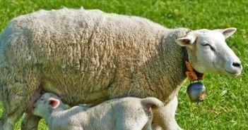 Απούλητα πάνω από 1 εκ. αρνιά και κατσίκια – Καταστροφή για τους κτηνοτρόφους