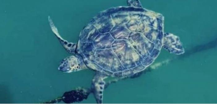 Στην Αμφιλοχία ζει η πιο σπάνια θαλάσσια χελώνα στην Ελλάδα
