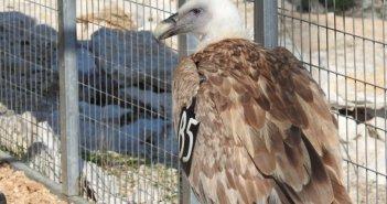 Οι γύπες του Αρακύνθου υπό δορυφορική παρακολούθηση – Από το Μεσολόγγι στην Κροατία!