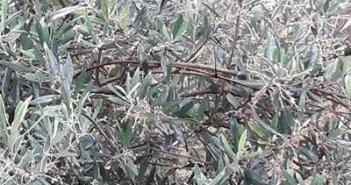 Αιτωλοακαρνανία: Ο καύσωνας ρήμαξε τα άνθη σε λαδολιές και Καλαμών στις πιο πολλές περιοχές της χώρας