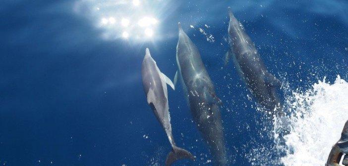 Μοναδικό! 50 δελφίνια παίζουν στ' ανοιχτά της Ζακύνθου! BINTEO Μοναδικό! 50 δελφίνια παίζουν στ' ανοιχτά της Ζακύνθου! BINTEO