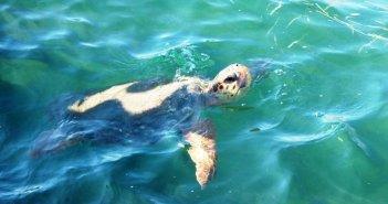 Μεσολόγγι: Ξεκίνησε η καταγραφή της ωοτοκίας της θαλάσσιας χελώνας Caretta caretta (ΦΩΤΟ)