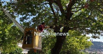Ναύπακτος: Ξεκίνησαν οι εργασίες προστασίας των πλατανιών (Vid)