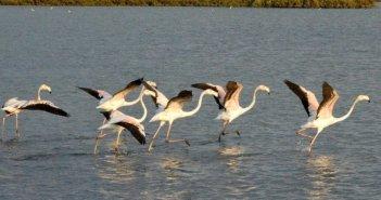 """Εικόνες από την λιμνοθάλασσα του Μεσολογγίου και τον """"χορό"""" των φλαμίγκος"""