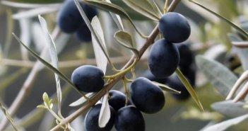 Δημιουργείται σύλλογος για την ελιά Καλαμών στην Αιτωλοακαρνανία