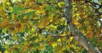 «Ο κορωνοϊός των πλατάνων» αποδεκατίζει τα δάση του νερού