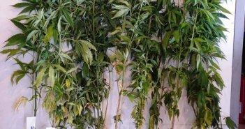 Αγρίνιο: Καλλιεργούσε δενδρύλλια κάνναβης στο μπαλκόνι του σπιτιού του