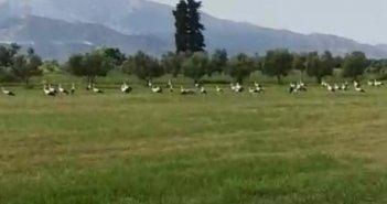 Μαλάματα: Πελαργοί έκαναν «κατάληψη» σε χωράφι (VIDEO)
