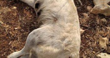 Φρίκη στο Βασιλόπουλο: Τέσσερα σκυλιά νεκρά από φόλες – Έκλεψαν και ένα κατσίκι (ΔΕΙΤΕ ΦΩΤΟ)