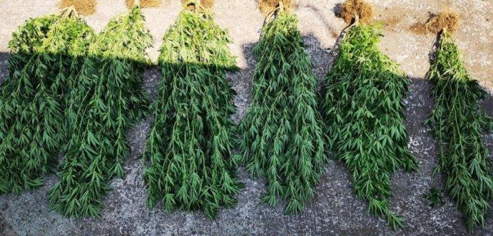 Σύλληψη στο Μεσολόγγι για καλλιέργεια χασίς σε πελάδα! (ΔΕΙΤΕ ΦΩΤΟ)