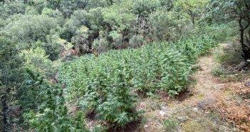 Δυτική Ελλάδα: Εντοπίστηκε οργανωμένη φυτεία δενδρυλλίων κάνναβης σε ορεινό χωριό των Καλαβρύτων