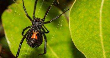 Δυτική Ελλάδα: Στο νοσοκομείο του Ρίου ασθενής από τσίμπημα μαύρης αράχνης – Μάχη δίνουν οι γιατροί