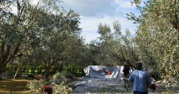 Αιτωλοακαρνανία: Στο φουλ οι μηχανές για την συγκομιδή της ελιάς