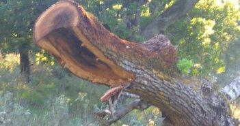 Λαθροϋλοτόμοι συνεχίζουν να κόβουν αιωνόβιες δρύες (βελανιδιές) από το δάσος του Ξηρομέρου!
