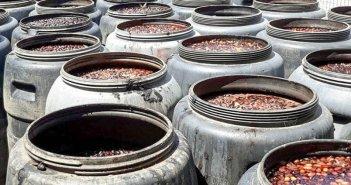 Κατρακυλά η τιμή της ελιάς Καλαμών: Υπό αφανισμό  οι ελαιοπαραγωγοί