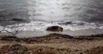 Νεκρή χελώνα καρέτα – καρέτα στον Μύτικα (VIDEO)