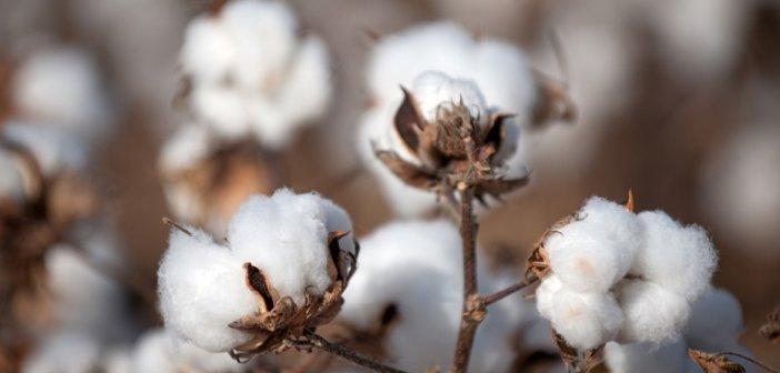 Βαμβακοκαλλιέργεια: Τεχνικό δελτίο για την Αιτωλοακαρνανία