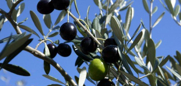 Αιτωλοακαρνανία-Ελιά Καλαμών: Αγωνία δίχως τέλος για τους παραγωγούς