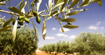 Η «μάχη» του ΣτΕ για την ελιά Καλαμών: Παρίσταται και ο Δήμος Αγρινίου