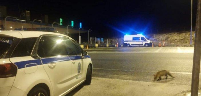 """Αλεπού """"επισκέφθηκε"""" τους αστυνομικούς στην Αντιρρίου – Ιωαννίνων"""