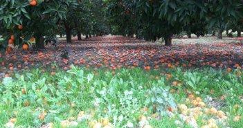 Γ. Βαρεμένος: «SOS για τους παραγωγούς κλημεντινών»