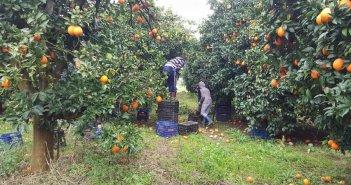 Καλύβια: Συγκομιδή πορτοκαλιών μετ΄ εμποδίων