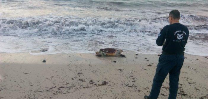 Λευκάδα: Ακόμη μια νεκρή χελώνα careta-careta