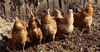 Ανησυχία για το ενδεχόμενο επανεμφάνισης της γρίπης των πτηνών