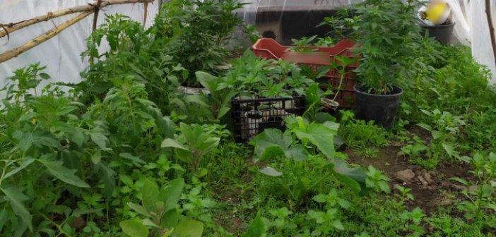 Συνελήφθη καλλιεργητής ναρκωτικών σε περιοχή της Αμαλιάδας