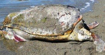 ΑΡΧΕΛΩΝ: Τραγικό ρεκόρ με περισσότερες από 700 νεκρές θαλάσσιες χελώνες το 2020