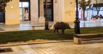 Θεσσαλονίκη: Παίρνει «όπλο» ο δήμος μετά την εμφάνιση αγριογούρουνων στην Αριστοτέλους!