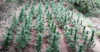 Αμαλιάδα: Σύλληψη για καλλιέργεια 83 φυτών κάνναβης – Διέφυγε ο συνεργός