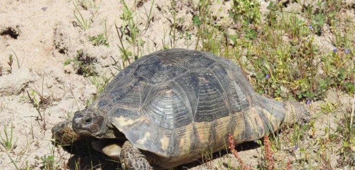 Πώς εξαπλώνεται είδος χελώνας στο Εθνικό Πάρκο Λιμνοθαλασσών Μεσολογγίου – Αιτωλικού