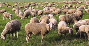 Υπεγράφησαν οι συνδεδεμένες ενισχύσεις για βοοειδή και αιγοπρόβατα